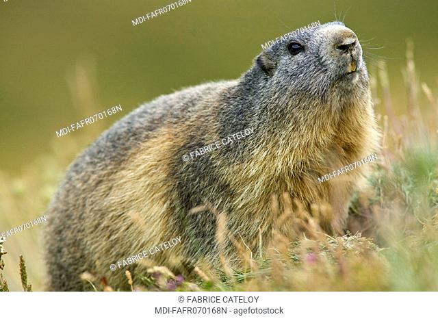 Marmot in the grass in the natural regional park of Queyras