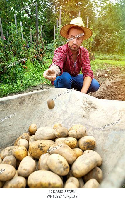 Young man harvesting potatoes in vegetable garden
