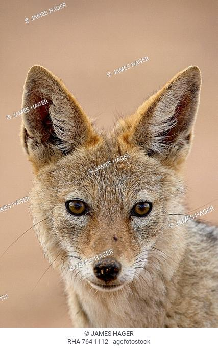 Black-backed jackal Silver-backed jackal Canis mesomelas, Kgalagadi Transfrontier Park, encompassing the former Kalahari Gemsbok National Park, South Africa