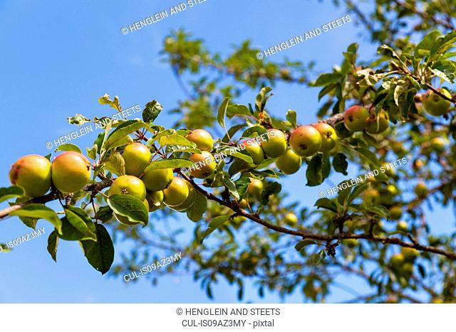 Low angle view of apples on apple tree branch against blue sky