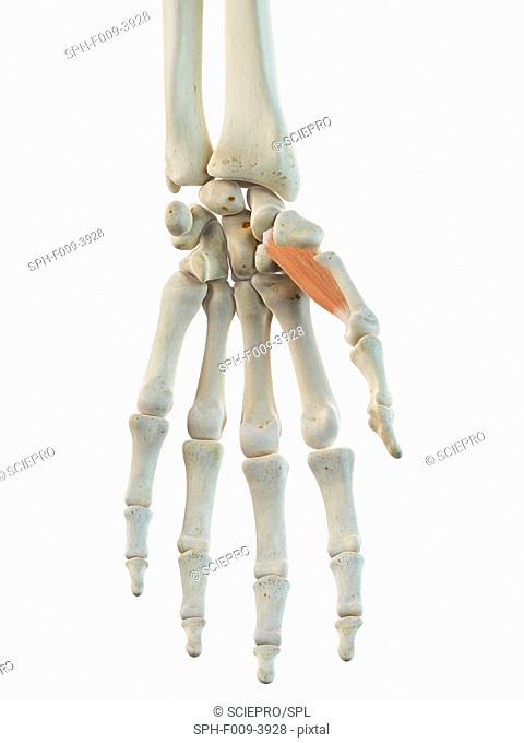 Human opponens pollicis muscles, computer artwork