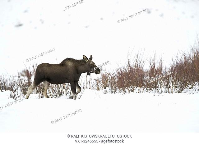 Moose / Elch ( Alces alces ) in winter, young bull, shed antlers, walking through its typical habitat, along some shrubs through deep snow, Yellowstone NP, USA