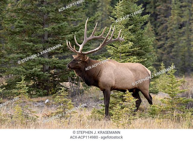 Bull (Male) elk, or wapiti (Cervus canadensis), Jasper National Park, Alberta, Canada