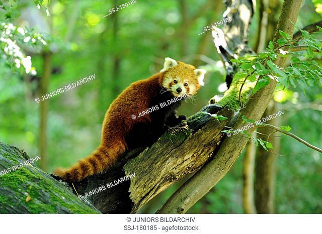 Lesser Panda or Red Panda (Ailurus fulgens) on a branch