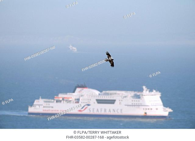 Common Raven Corvus corax adult, in flight, over sea with cross-channel ferry, Dover, Kent, England, may