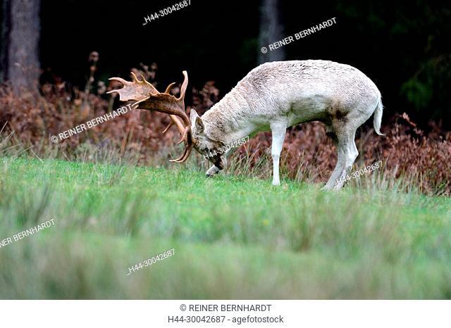 Rutting season, Cerviden, Dama dama, fallow buck, fallow bucks, Damwild, Damwild rutting season, real deer, antler bearers, autumn, deer, deer