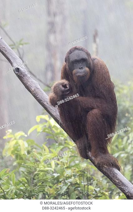 Asia, Indonesia, Borneo, Tanjung Puting National Park, Bornean orangutan (Pongo pygmaeus pygmaeus), under the tropical rain