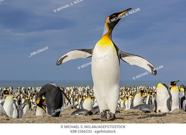 Adult king penguin, Aptenodytes patagonicus, at breeding colony at St. Andrews Bay, South Georgia, UK Overseas Protectorate