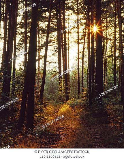 Poland. Sunset in a wood