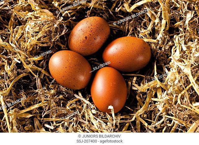 Marans Chicken. Clutch of eggs in straw. Germany