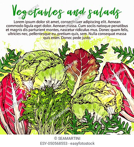 Vegetarian salads and lettuce vegetables sketch poster. Vector design of vegan chicory and oakleaf lettuce or spinach or pak choi cabbage