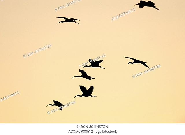 White ibis Eudocimus Albus Flying in to roost, Venice Area Audubon Society Rookery, Vencie, Florida, United States of America