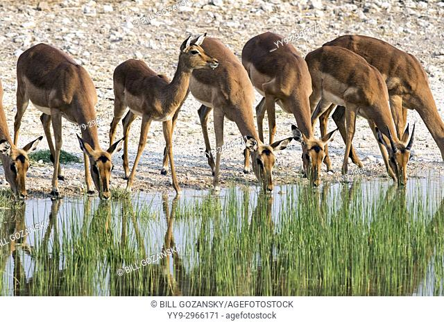 Impala drinking at waterhole - Onguma Bush Camp, Onguma Game Reserve, Namibia, Africa