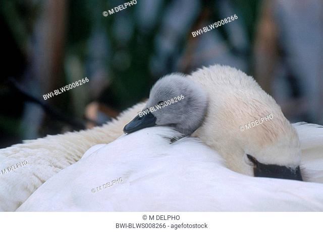 mute swan Cygnus olor, cygnet on the plumage of the mother