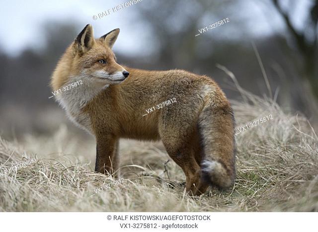 Red Fox ( Vulpes vulpes ) adult, standing, hunting in grasslands, watching back over shoulder, wildlife, Europe