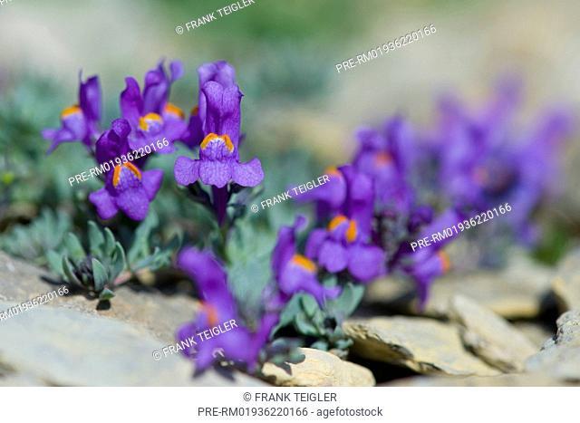 Alpine toadflax, Linaria alpina / Alpen-Leinkraut, Linaria alpina