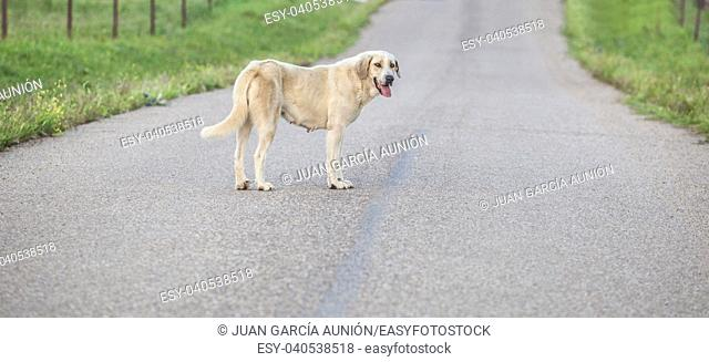 Mastiff dog in the middle of country road. Road safety concept