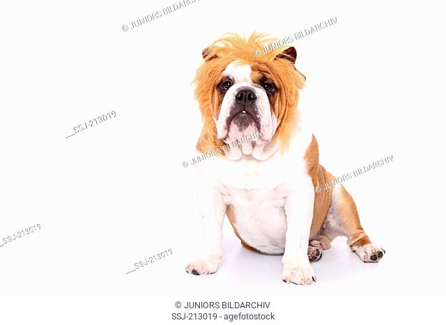 English Bulldog. Male sitting, wearing lions mane. Studio picture against a white background. Germany