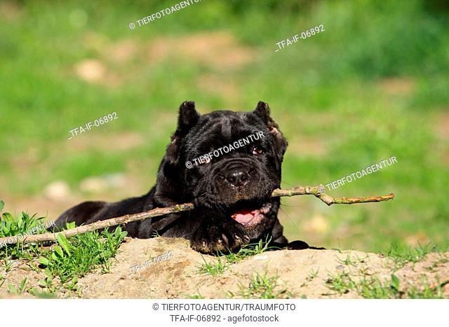 Neapolitan Mastiff dog puppy