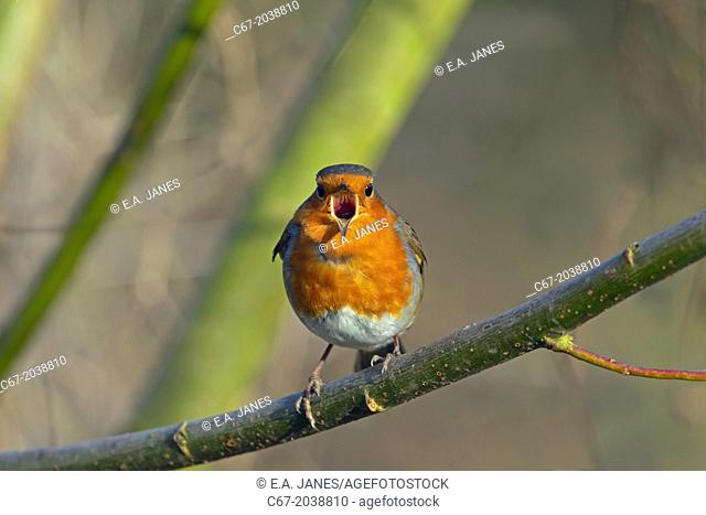 Robin (Erithacus rubecula) singing in late January
