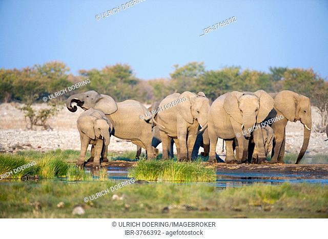 African Elephants (Loxodonta africana) drinking at Rietfontein waterhole, Etosha National Park, Namibia