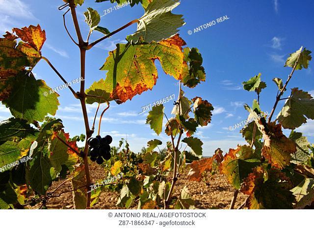 Vine leaves in autumn, Almansa, Albacete