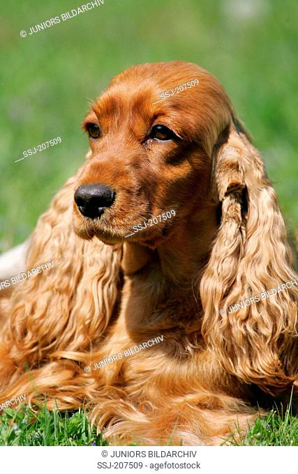 Red English Cocker Spaniel. Portrait of adult. Germany