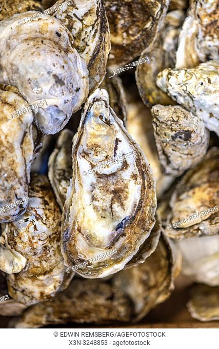 Close-up of farm raised oysters, Hollywood, Maryland