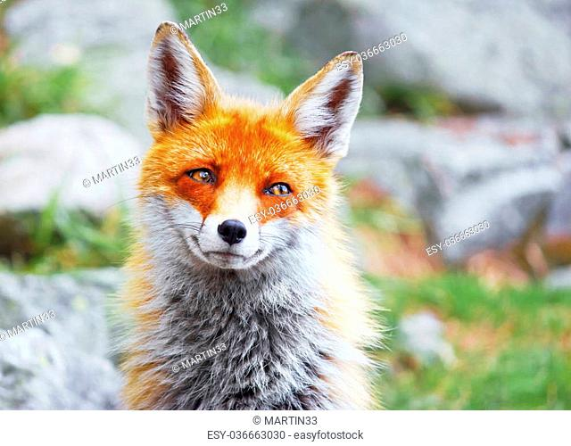 Portrait of wild red fox