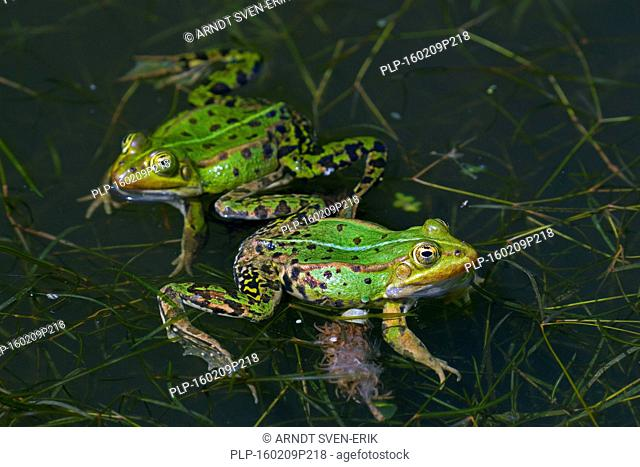 Two edible frogs / common water frog / green frog (Pelophylax kl. esculentus / Rana kl. esculenta) floating in pond in the mating season