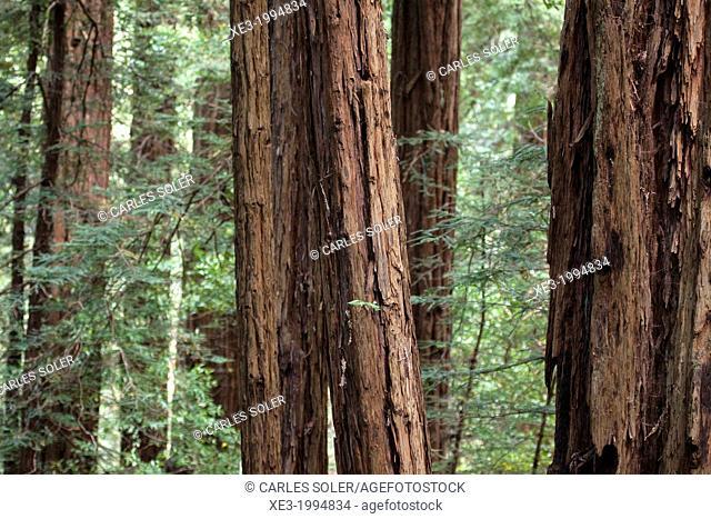 Muir Woods National Monument, San Francisco, California, USA