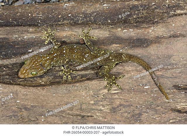 Green-eyed Gecko Gekko smithi adult camouflaged, Sukau River, Sabah, Borneo, Malaysia
