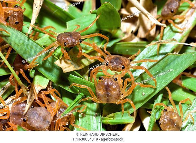 Juvenile Crabs feeding on Cuticle, Gecarcoidea natalis, Christmas Island, Australia