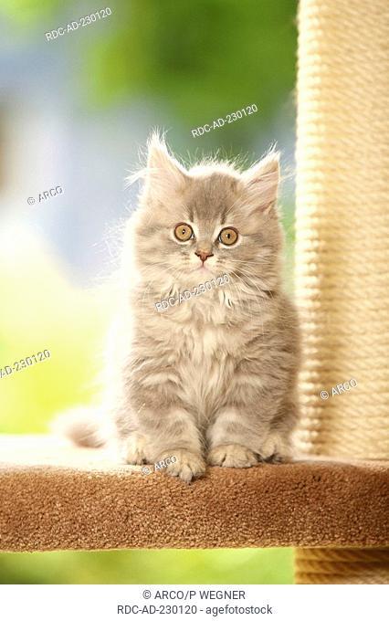 British Longhair Cat, kitten, blue-silver-tabby, Highlander, Lowlander, Britanica