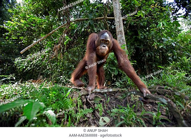 Bornean Orangutan male adolescent 'Thomas' aged 10 years approaching with curiosity - wide angle perspective (Pongo pygmaeus wurmbii)