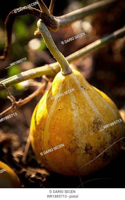 Pumpkin In Garden, Croatia, Slovania, Euope