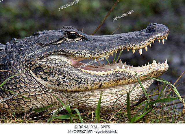American Alligator (Alligator mississippiensis) thermoregulating, Everglades National Park, Florida