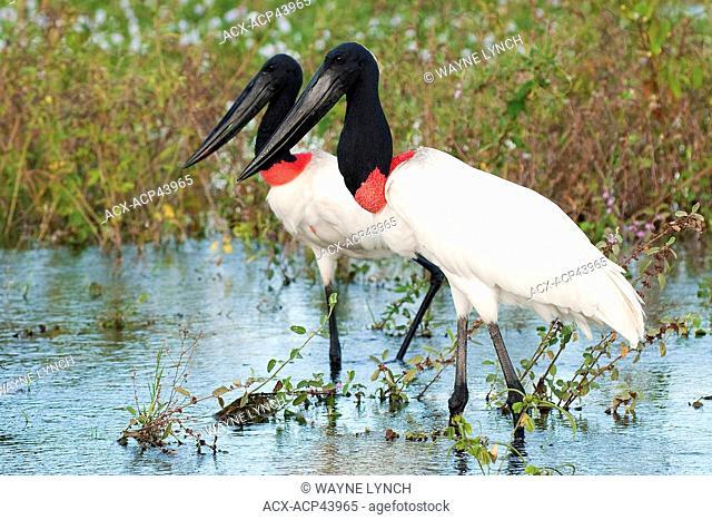 Adult jabiru stork Jabiru mycteria, Pantanal wetlands, Southwestern Brazil, South America