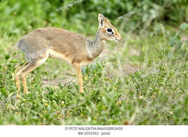 Kirk's Dik-dik (Madoqua Kirki), African dwarf antelope, Serengeti, Tanzania, Africa