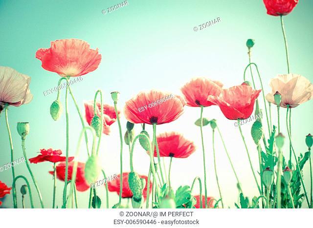 Wild poppy flowers on summer meadow
