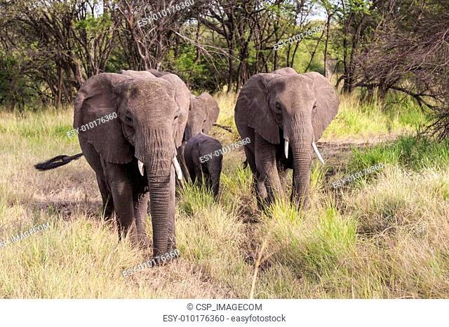 Grazing Elephants