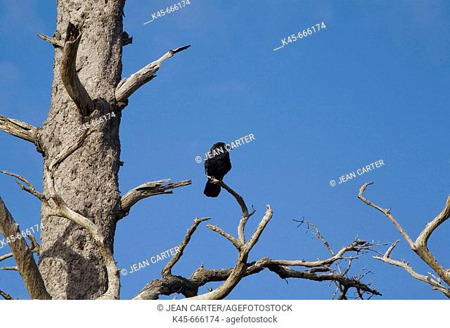 Raven (Corvus corax) rests on old snag. Ecola State Park. Northern Oregon coast. USA