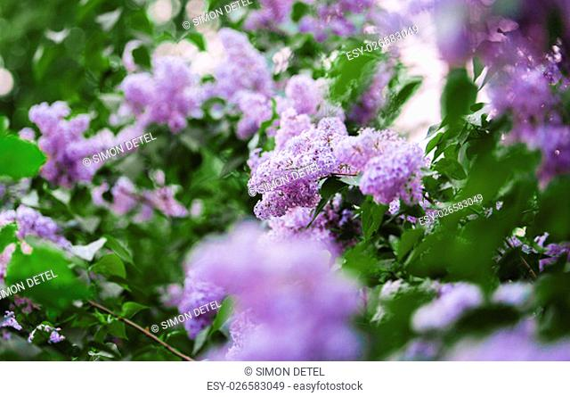 Lilac blooms. Lilac Flowering. Lilac Bush Bloom. Lilac flowers in the garden