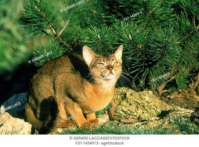 ABYSSINIAN DOMESTIC CAT, ADULT