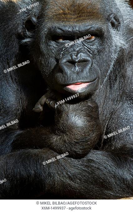 western gorilla Gorilla gorilla