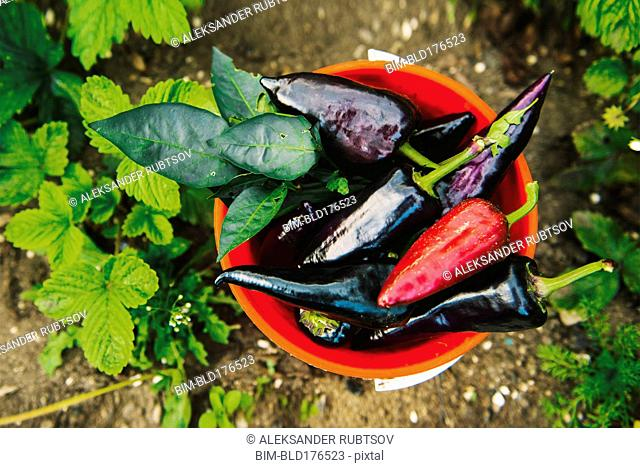 Bucket of peppers in vegetable garden