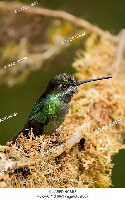 Magnificant Hummingbird, Eugenes fulgens, Central America, Costa Rica