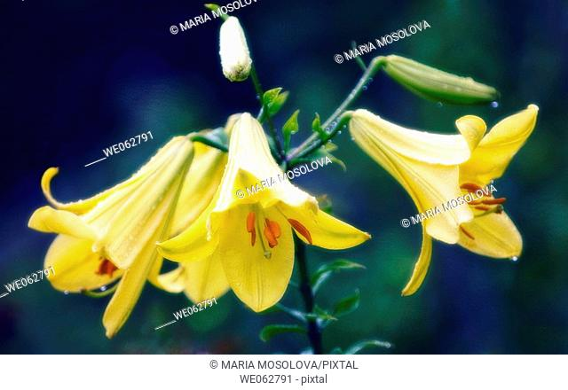 Yellow Lily. Lilium hybrid. June 2006, Maryland, USA