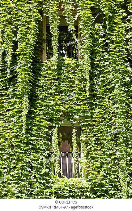 A fully Ivy covered facade of a residential building in Rome, Italy with french balconies and windows, basiking in the bright summer sun