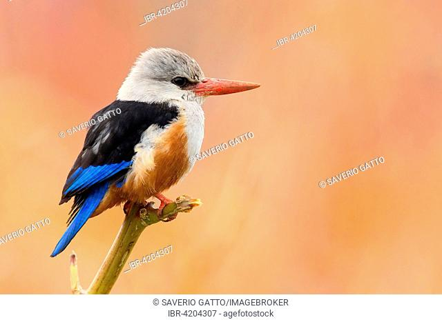 Grey-headed Kingfisher (Halcyon leucocephala acteon), adult perched on a branch, Santiago, Cape Verde